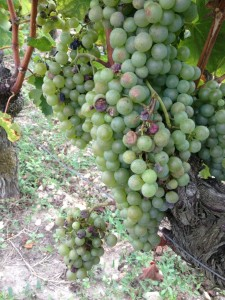 Some hail damage on these Semillon grapes