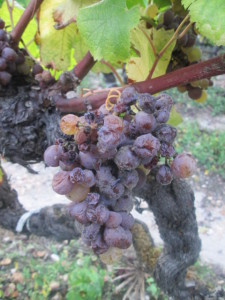 Grapes still on the vine at Raymond Lafon in Sauternes